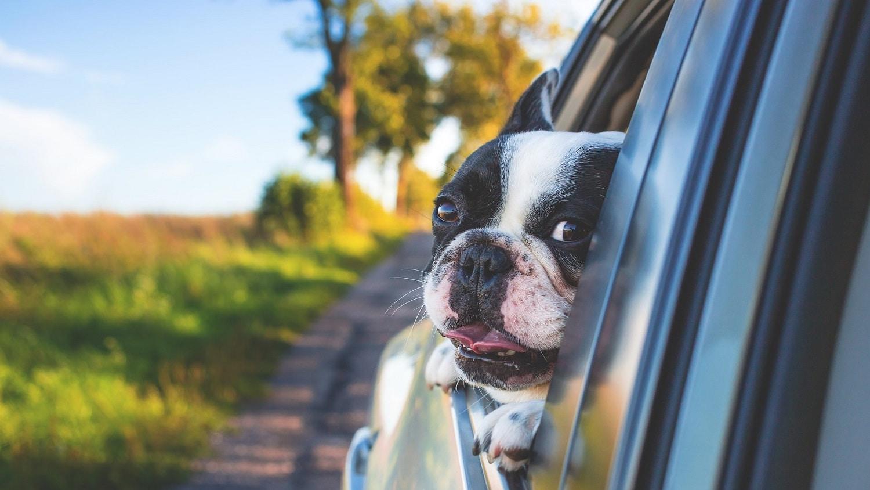 車の中から外を見ている犬